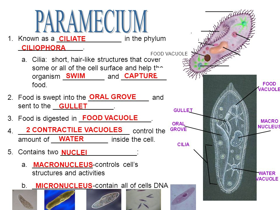 PARAMECIUM Known as a _________________ in the phylum _________________.