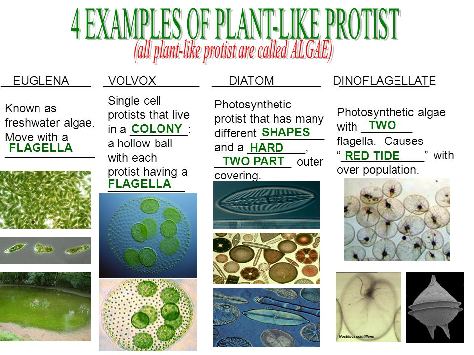 PROTIST KINGDOM. - ppt video online download