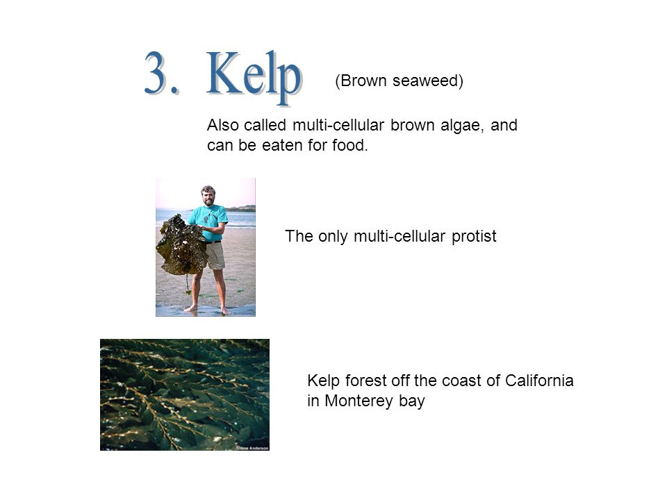 3. Kelp (Brown seaweed) Also called multi-cellular brown algae, and can be eaten for food. The only multi-cellular protist.