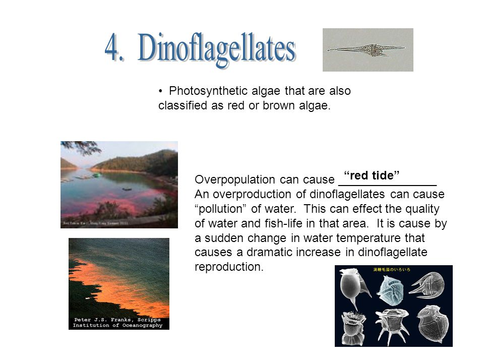 4. Dinoflagellates Photosynthetic algae that are also classified as red or brown algae. red tide