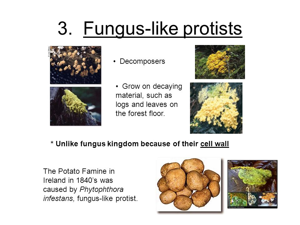 3. Fungus-like protists Decomposers