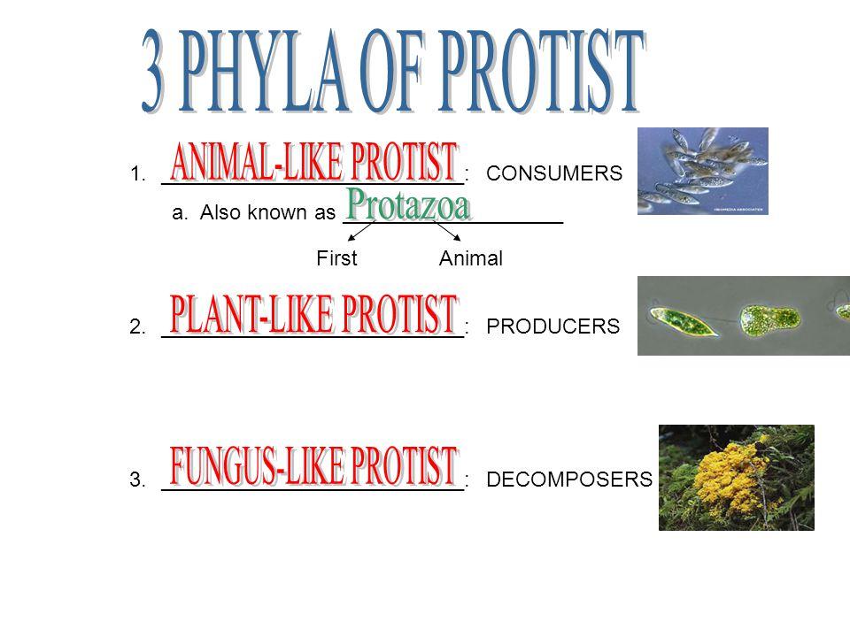 3 PHYLA OF PROTIST ANIMAL-LIKE PROTIST Protazoa PLANT-LIKE PROTIST