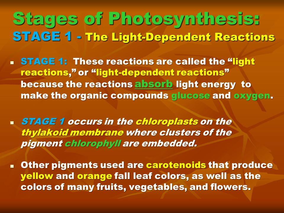 Stages of Photosynthesis: STAGE 1 - The Light-Dependent Reactions