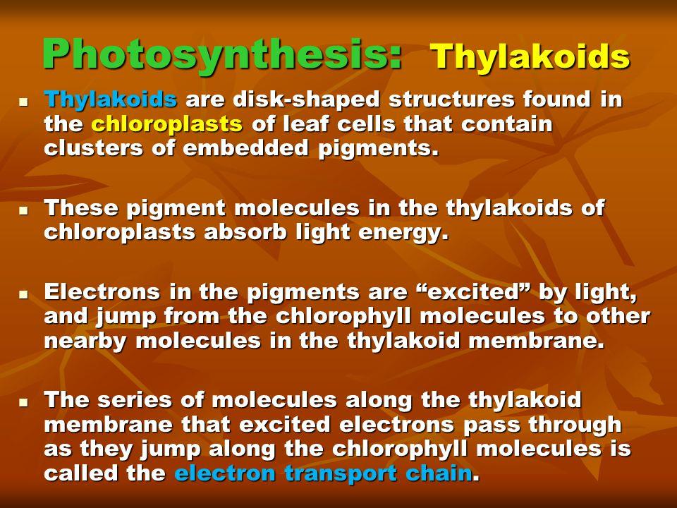Photosynthesis: Thylakoids