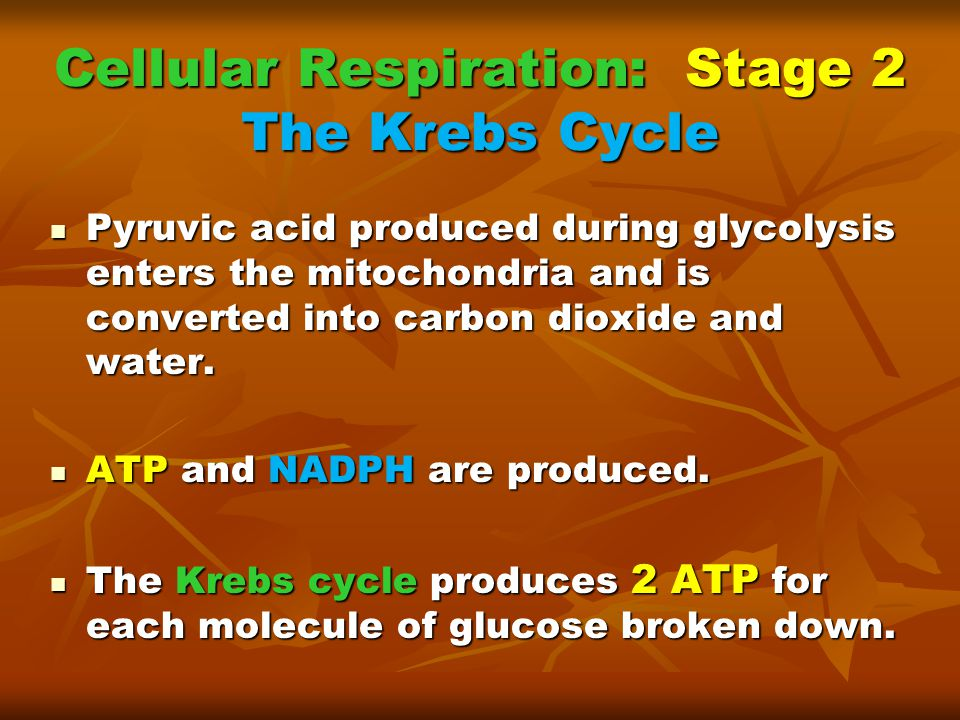 Cellular Respiration: Stage 2 The Krebs Cycle