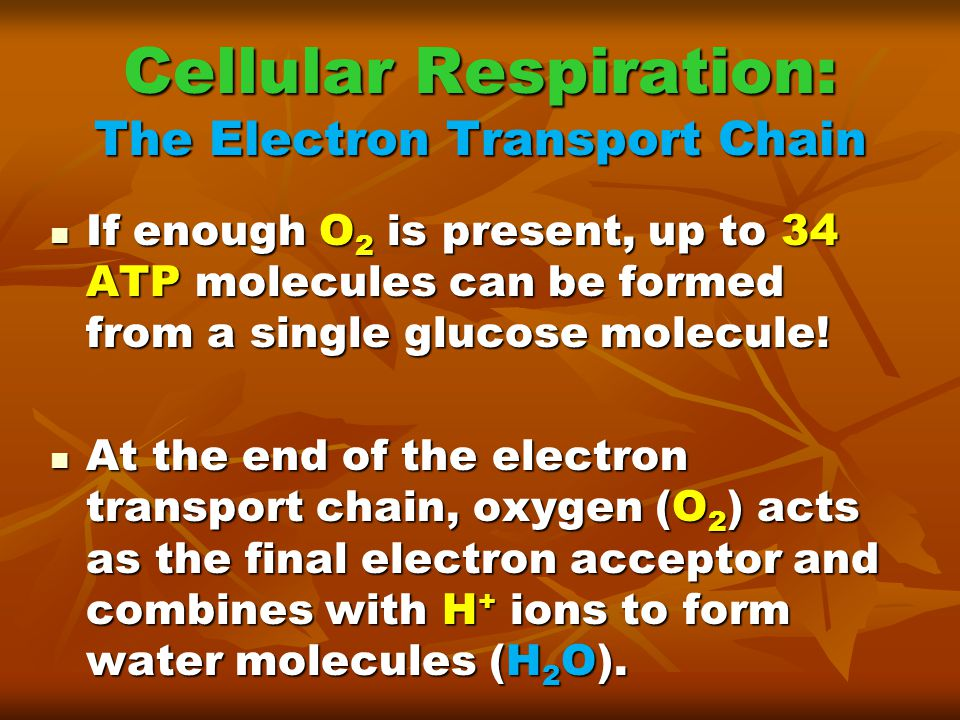Cellular Respiration: The Electron Transport Chain
