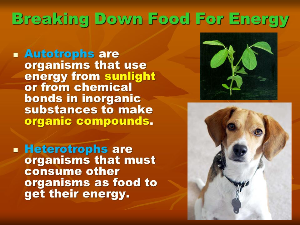 Breaking Down Food For Energy