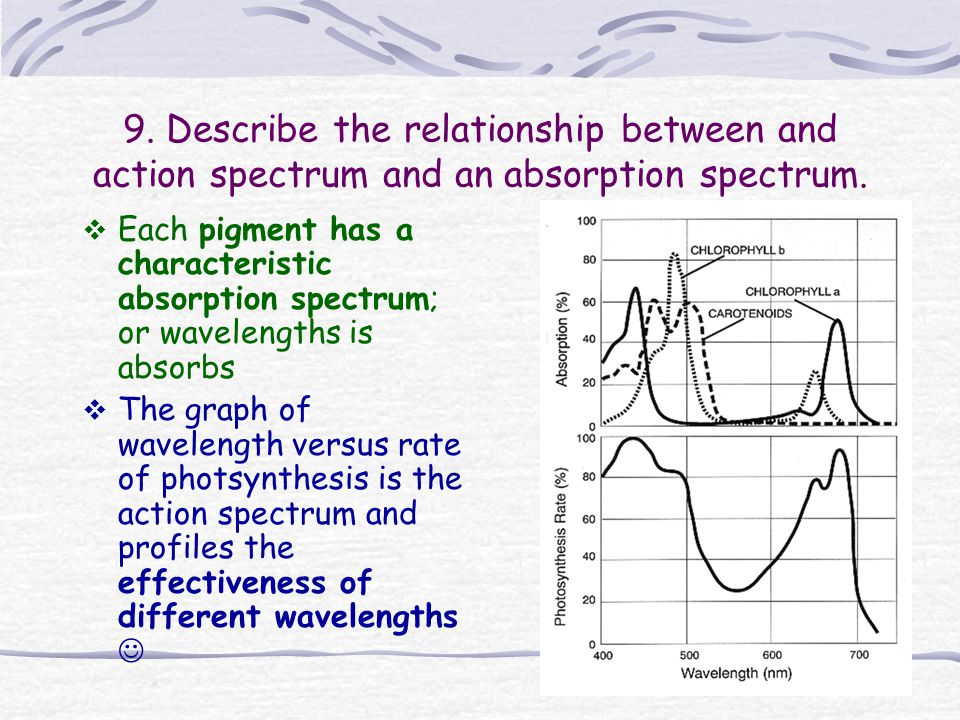 9. Describe the relationship between and action spectrum and an absorption spectrum.