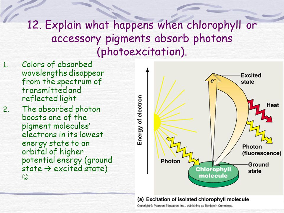 12. Explain what happens when chlorophyll or accessory pigments absorb photons (photoexcitation).
