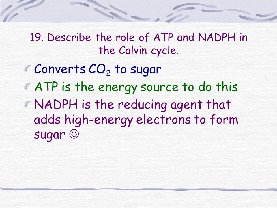 19. Describe the role of ATP and NADPH in the Calvin cycle.