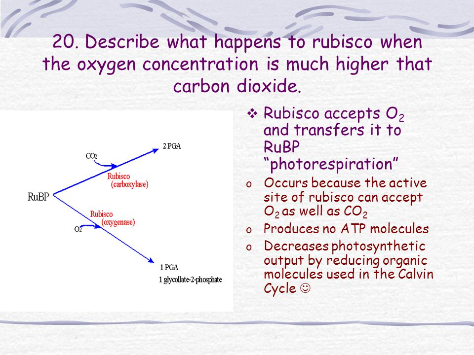 20. Describe what happens to rubisco when the oxygen concentration is much higher that carbon dioxide.