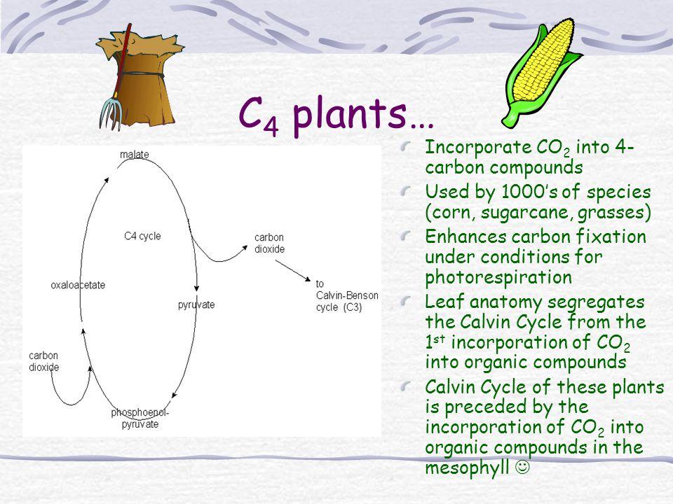 C4 plants… Incorporate CO2 into 4-carbon compounds