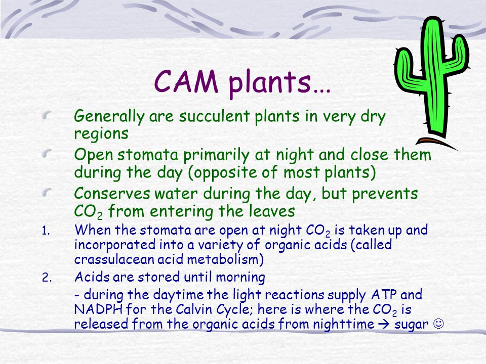 CAM plants… Generally are succulent plants in very dry regions