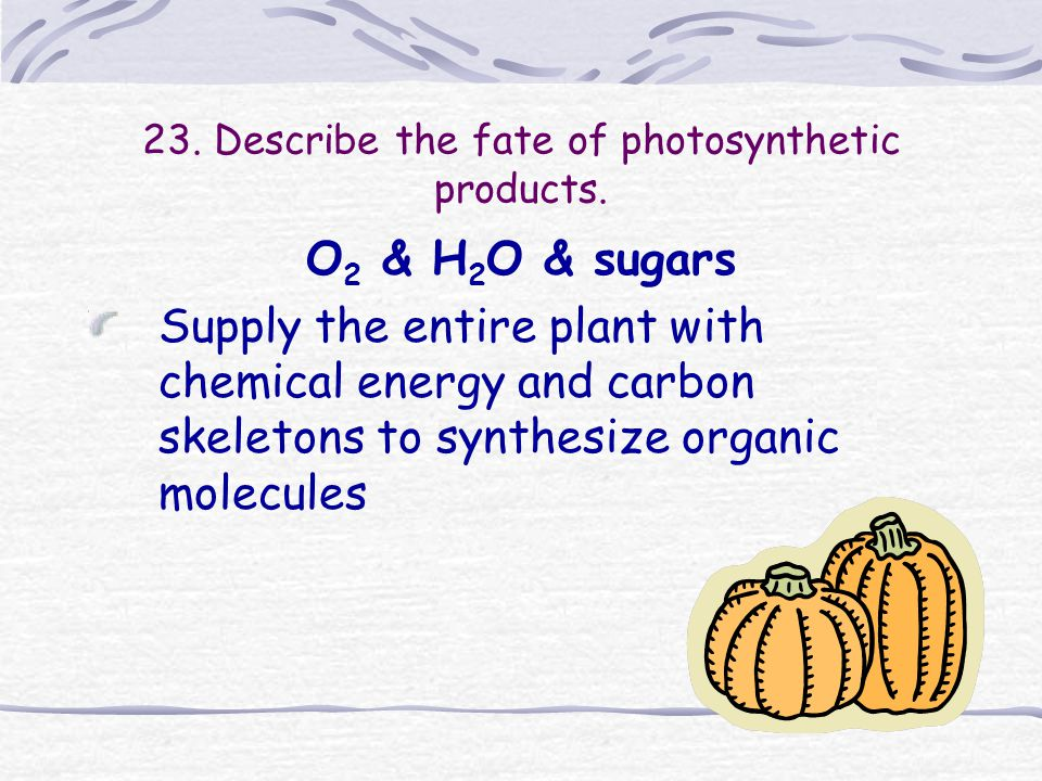 23. Describe the fate of photosynthetic products.