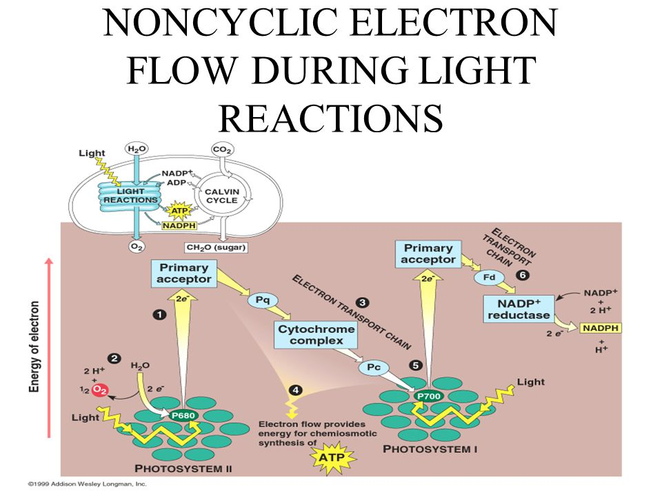 NONCYCLIC ELECTRON FLOW DURING LIGHT REACTIONS