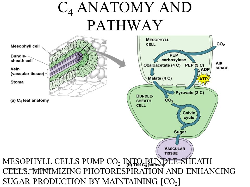C4 ANATOMY AND PATHWAY MESOPHYLL CELLS PUMP CO2 INTO BUNDLE-SHEATH