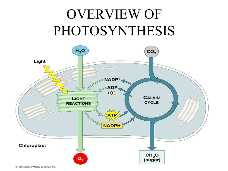 an overview of photosynthesis the nature of light After elucidating the nature of bacterial photosynthesis, he proposed (8) that bacterial and plant photosynthesis are special cases of a general processin which light energyis used.