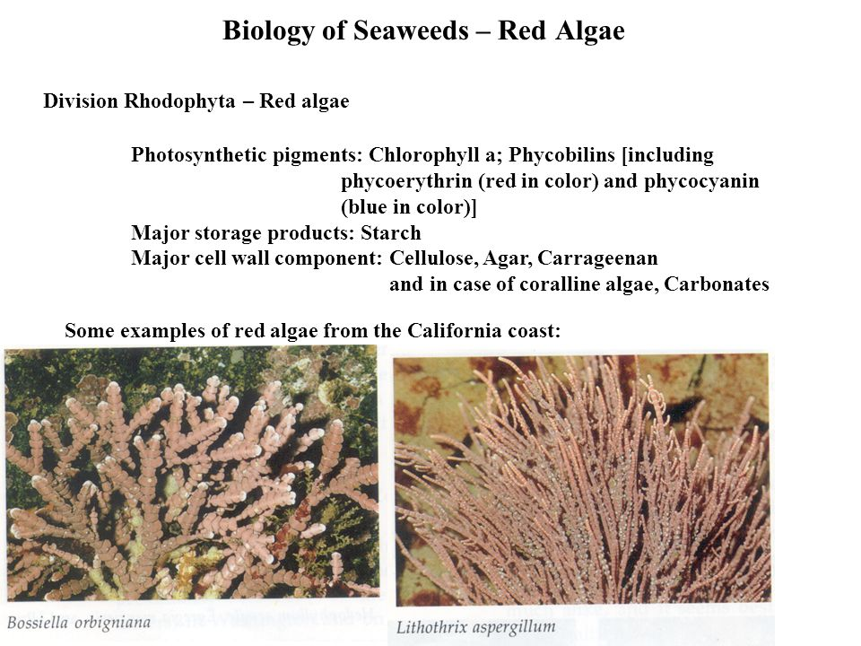 Biology of Seaweeds – Red Algae