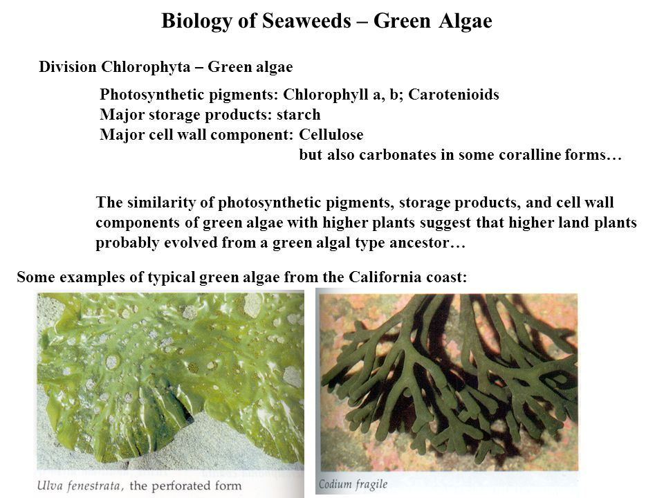 Biology of Seaweeds – Green Algae