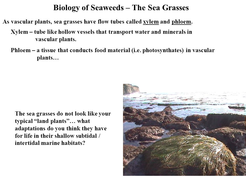 Biology of Seaweeds – The Sea Grasses