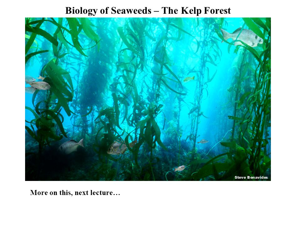 Biology of Seaweeds – The Kelp Forest