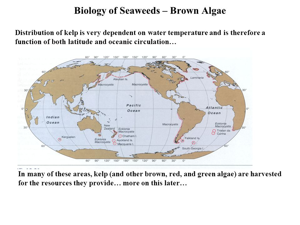 Biology of Seaweeds – Brown Algae