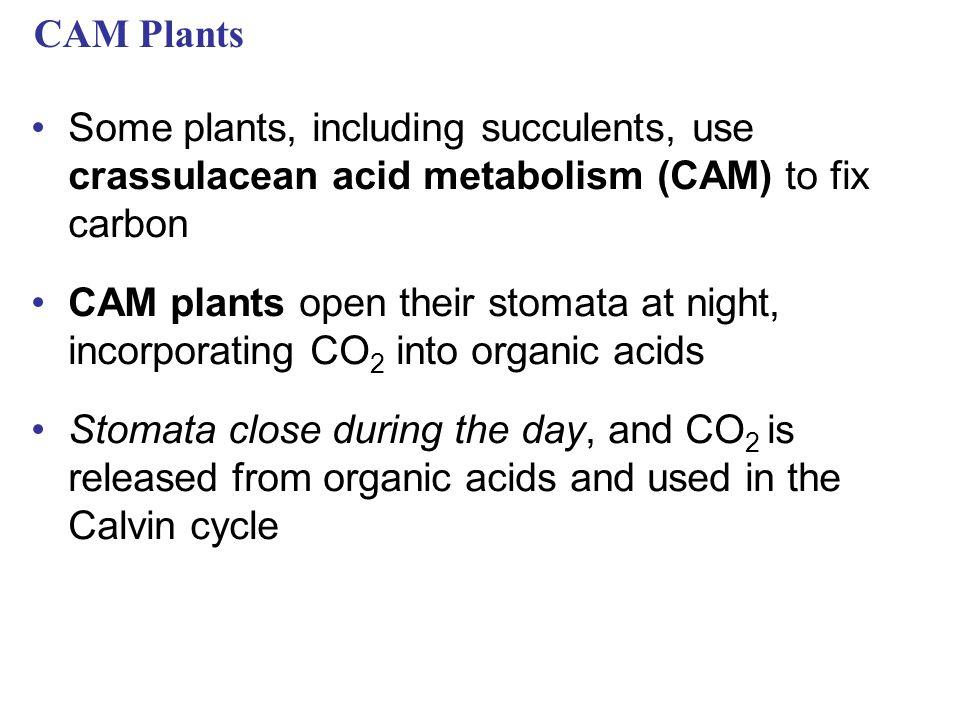 CAM Plants Some plants, including succulents, use crassulacean acid metabolism (CAM) to fix carbon.