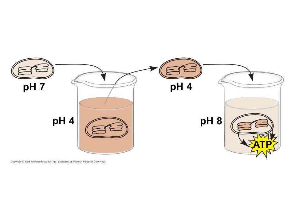 pH 7 pH 4 pH 4 pH 8 ATP