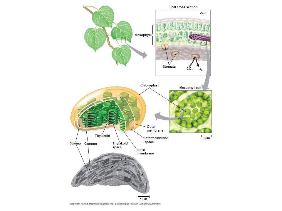 Figure 10.3 Zooming in on the location of photosynthesis in a plant