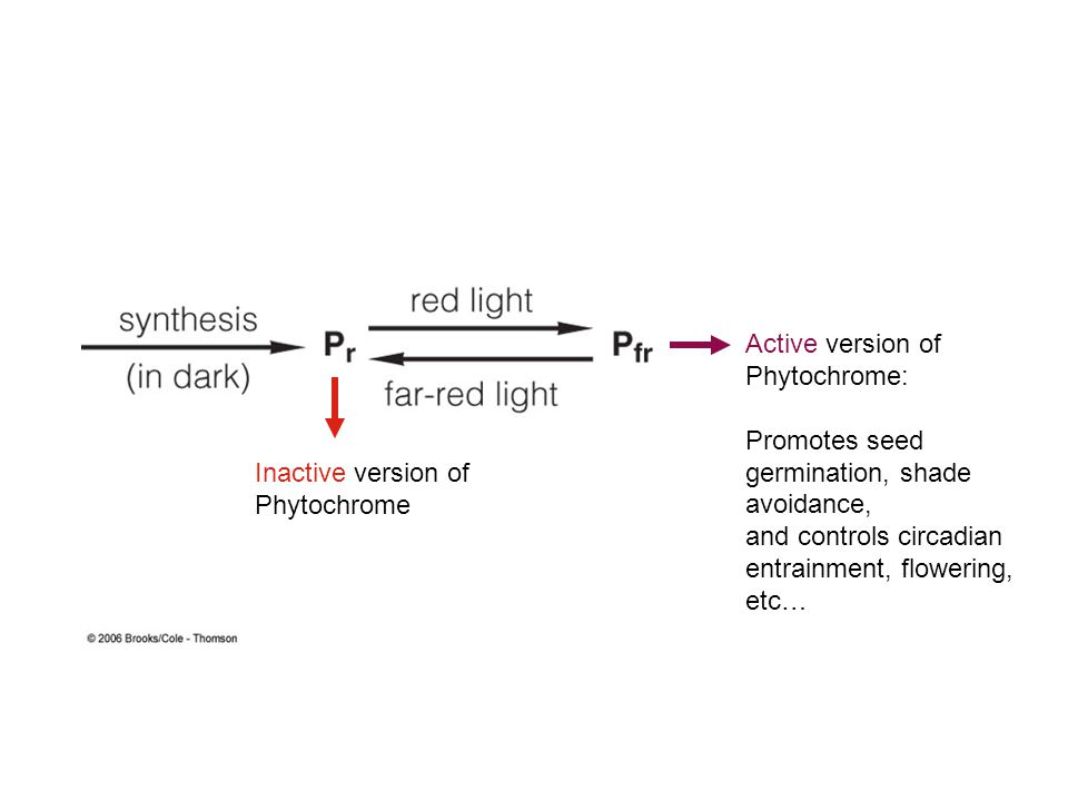 Active version of Phytochrome: