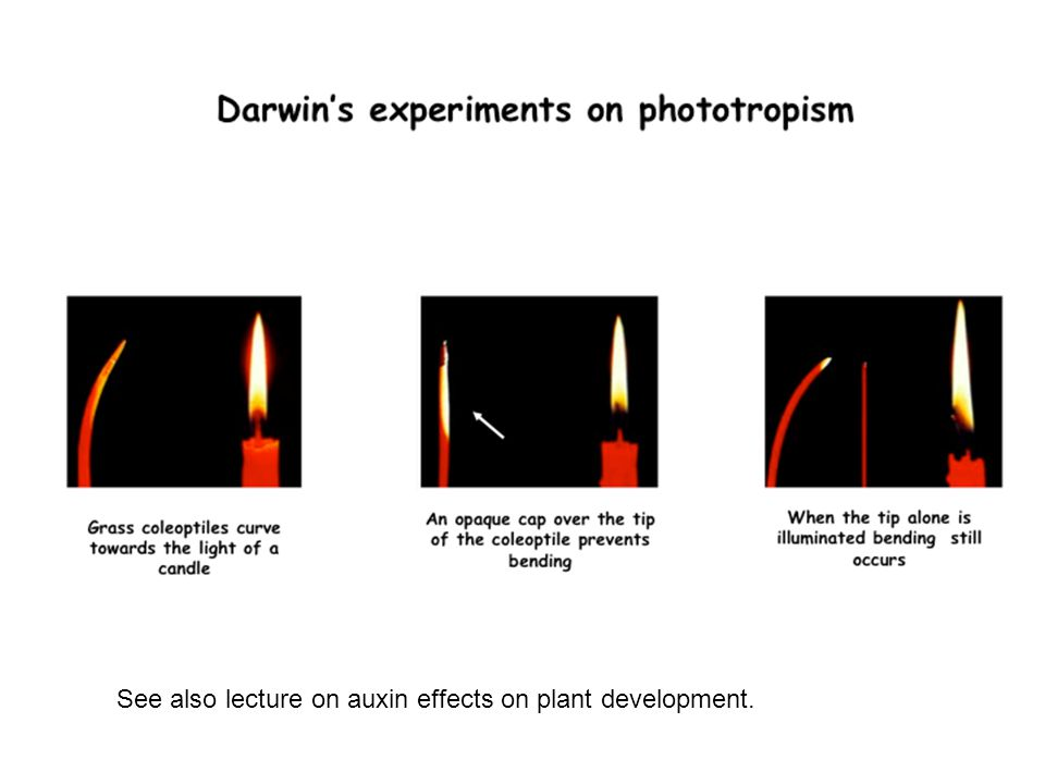 See also lecture on auxin effects on plant development.