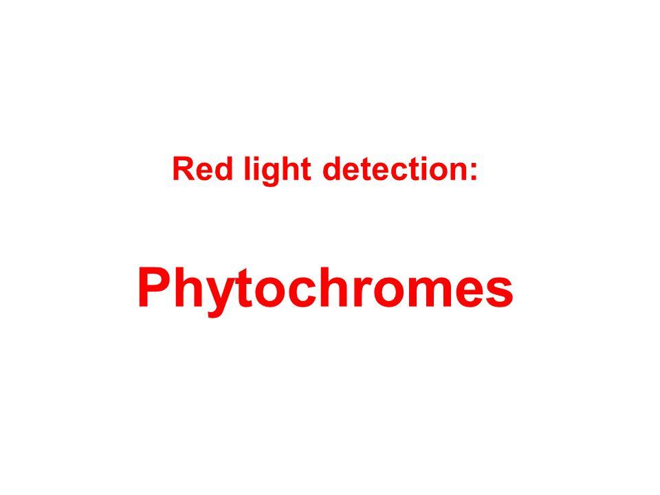 Red light detection: Phytochromes