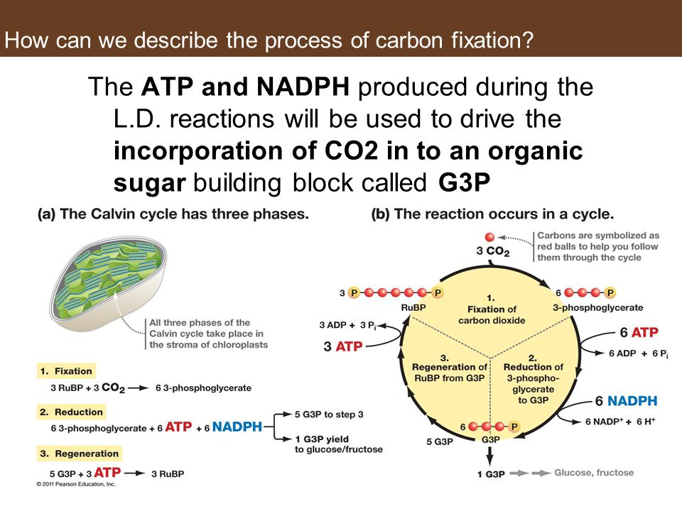 How can we describe the process of carbon fixation