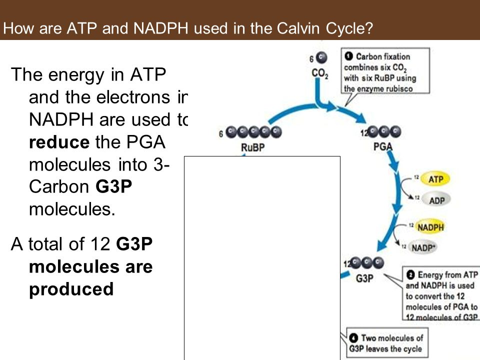 How are ATP and NADPH used in the Calvin Cycle