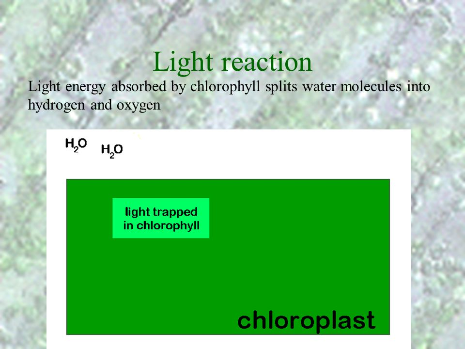 Light reaction Light energy absorbed by chlorophyll splits water molecules into hydrogen and oxygen