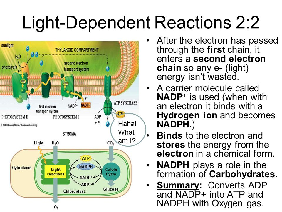 Light-Dependent Reactions 2:2