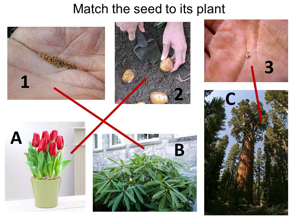 Match the seed to its plant