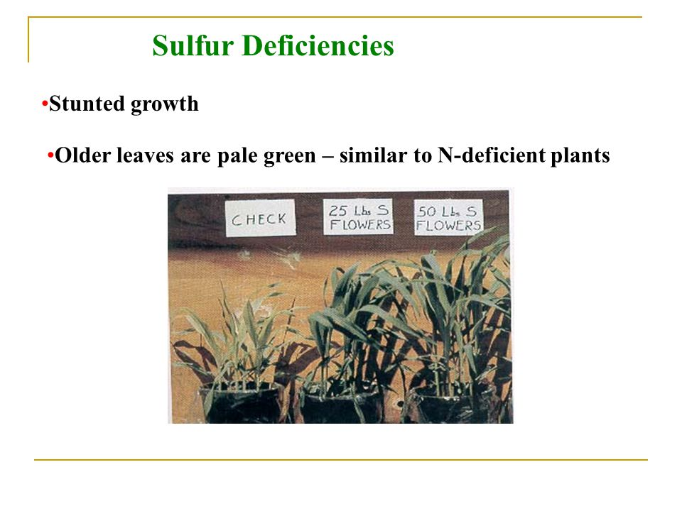 Sulfur Deficiencies Stunted growth
