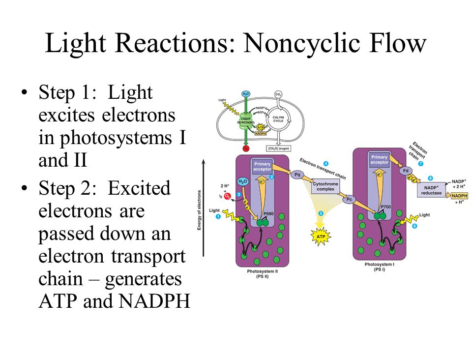 Light Reactions: Noncyclic Flow