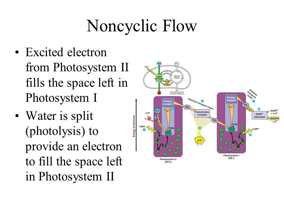 Noncyclic Flow Excited electron from Photosystem II fills the space left in Photosystem I.