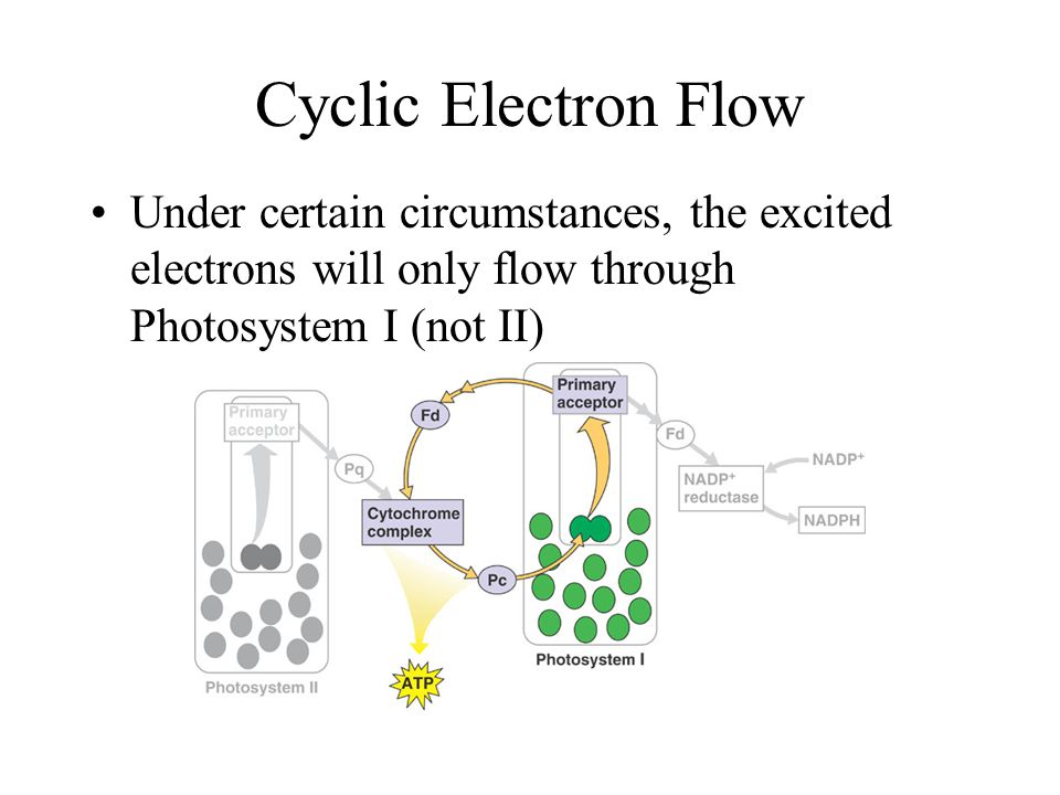 Cyclic Electron Flow Under certain circumstances, the excited electrons will only flow through Photosystem I (not II)