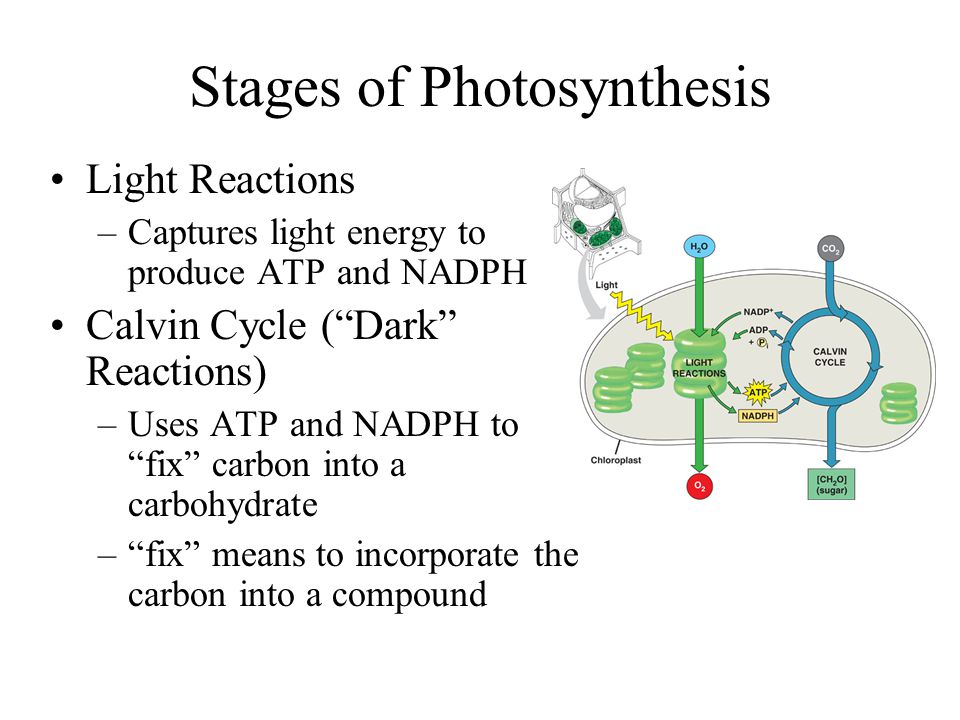 stages of photsynthesis