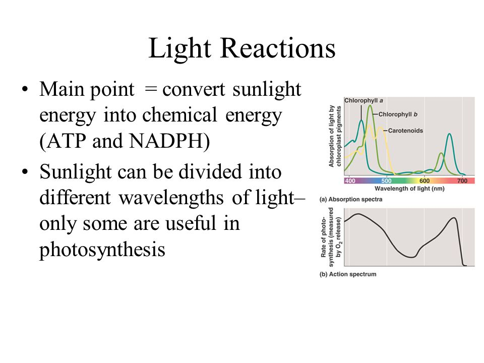 Light Reactions Main point = convert sunlight energy into chemical energy (ATP and NADPH)