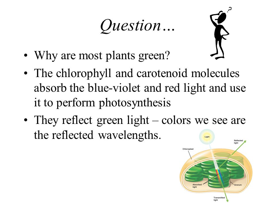 Question… Why are most plants green