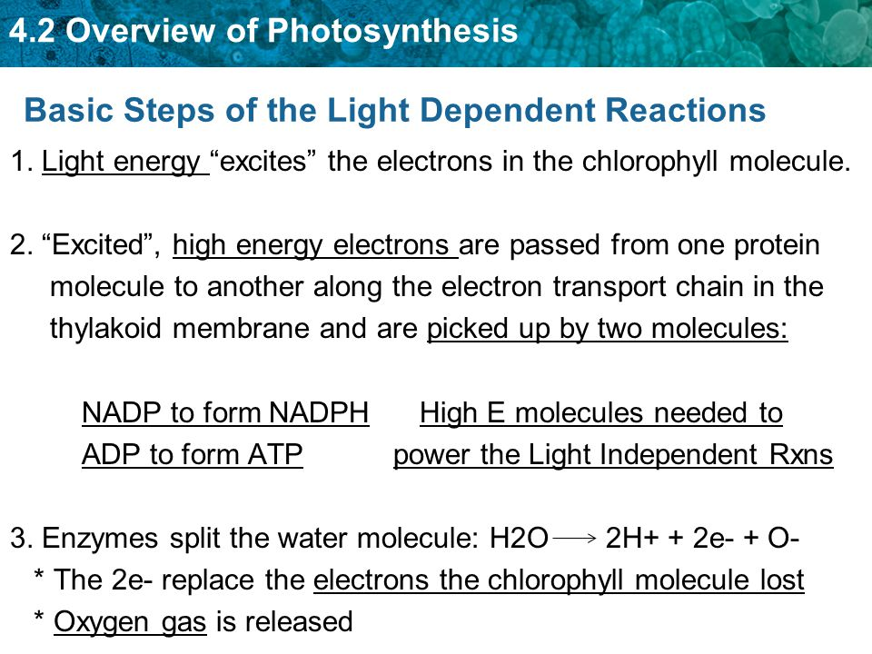 Basic Steps of the Light Dependent Reactions