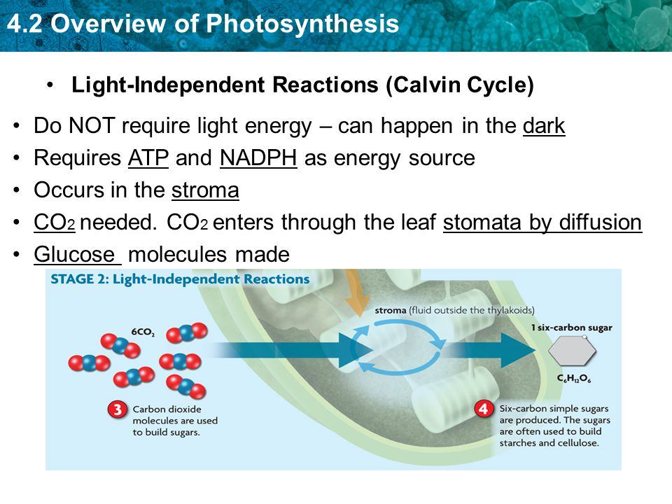 Light-Independent Reactions (Calvin Cycle)