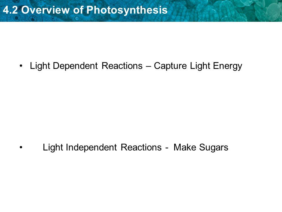 Light Dependent Reactions – Capture Light Energy