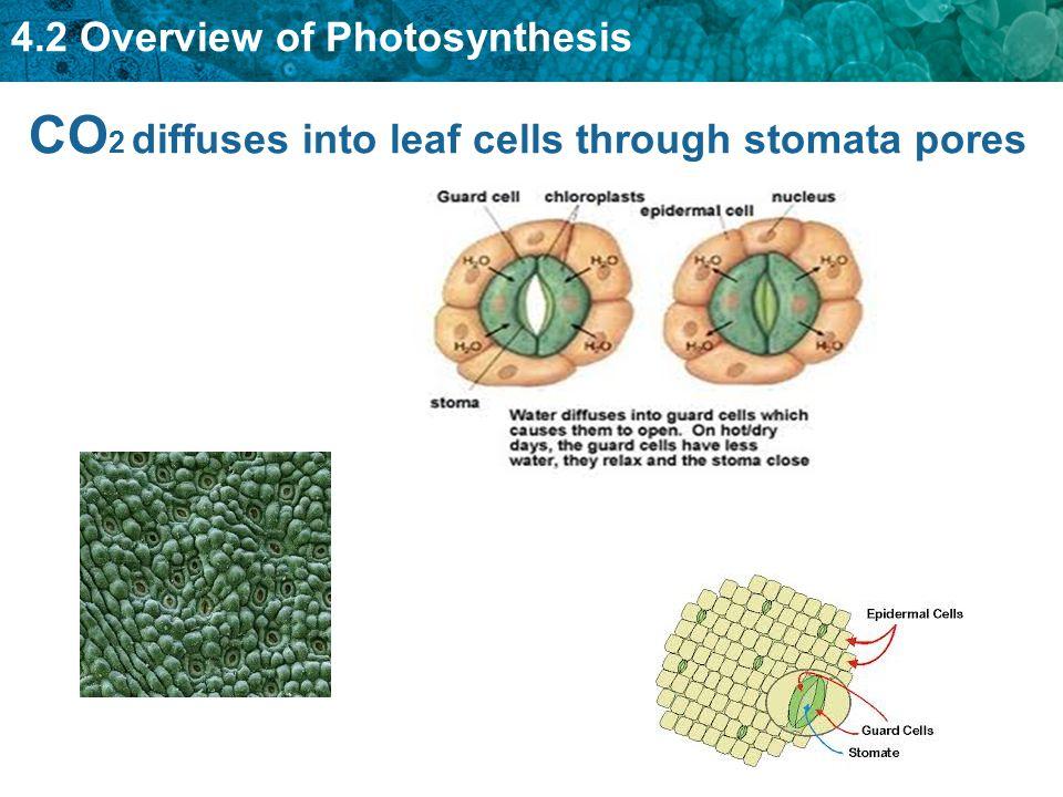 CO2 diffuses into leaf cells through stomata pores