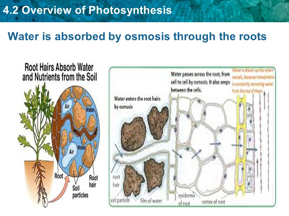 Water is absorbed by osmosis through the roots