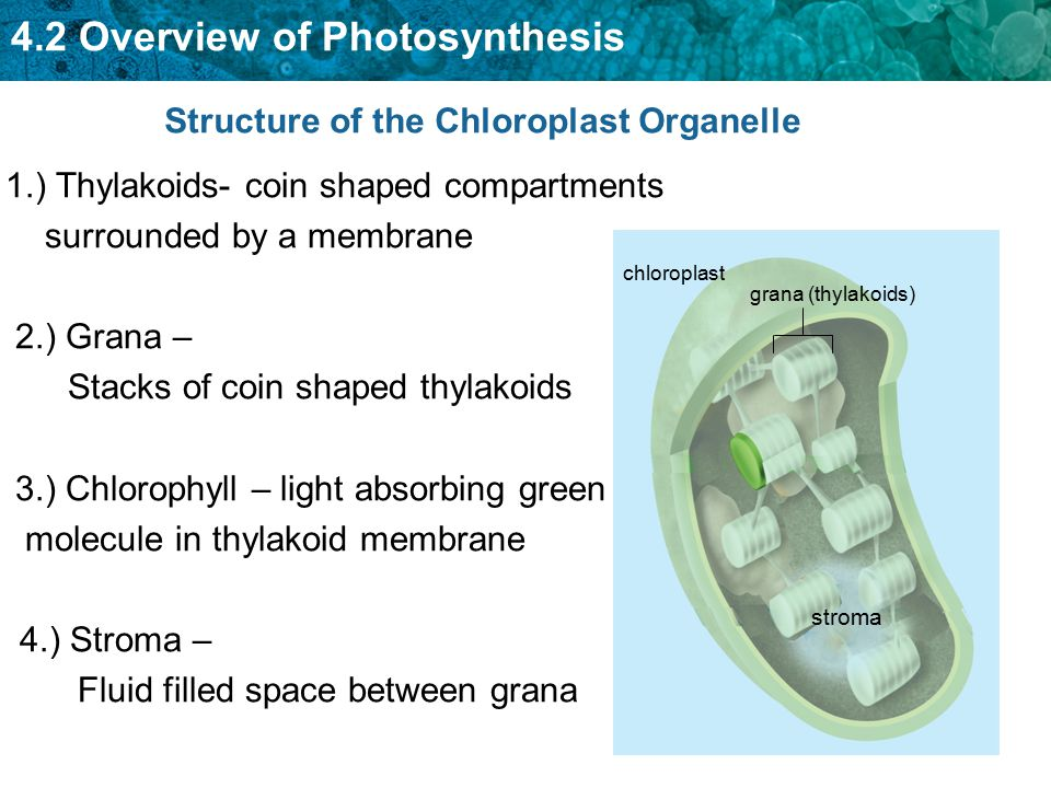 Structure of the Chloroplast Organelle